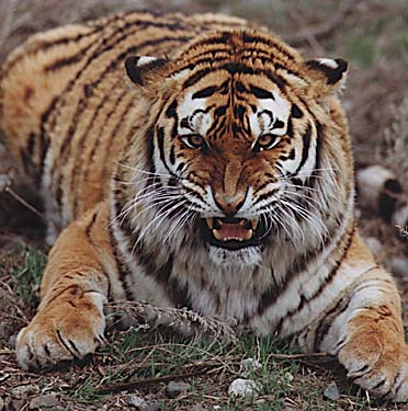 tiger_growl_1.JPG